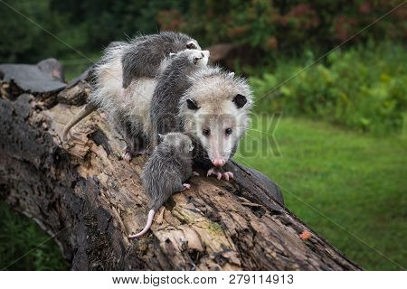 Opossum Joey (didelphimorphia) And Laden Mother Meet On Log Summer - Captive Animals