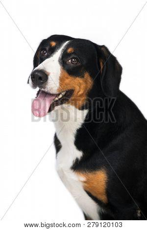 Entlebucher Mountain Dog isolated on white background