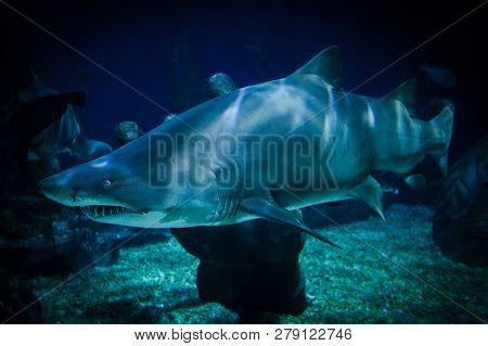 Great White Shark Picture Underwater Sea Swimming Marine Life In Ocean - Large Ragged Tooth Shark Or