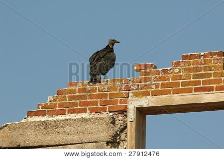 Black Vulture Perched on the Ruins of a Brick Mansion