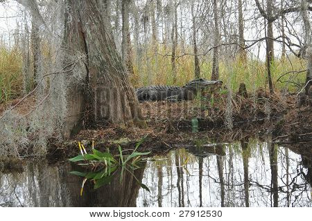 American Alligator on a River Bank