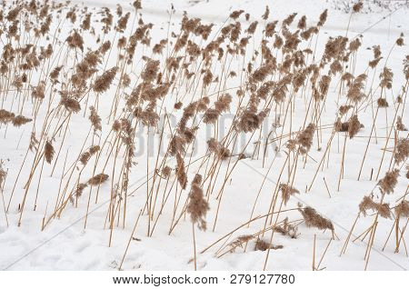 Dry Grass On A Snowy Background At Winter.