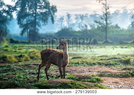 Small Deer Walking On Muddy Grassland At Misty Morning During Sunrise. The Deer Is Without Antlers