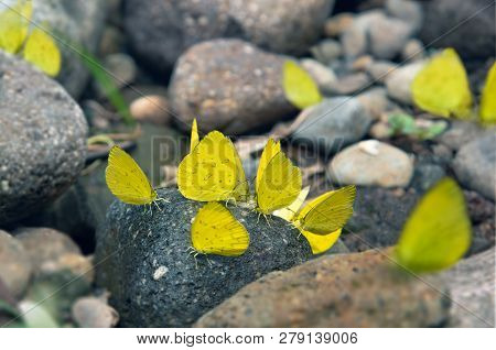 Group Of Yellow Butterflies Puddlingon Granite Stone. Indonesia Butterflies Swarm Licking And Eats M