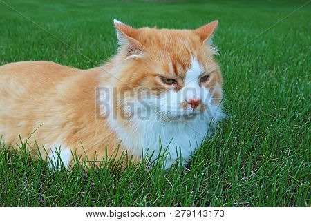 An orange and white domestic longhair cat (Felis catus) relaxing in a lawn of green grass; poster