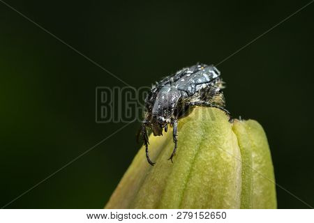 A mediterranean spotted chafer (Oxythyrea funesta) sitting on the closed bud of a lily, dark background poster