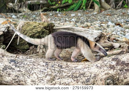 Anteater Walking In The Wild - Corcovado National Park, Costa Rica