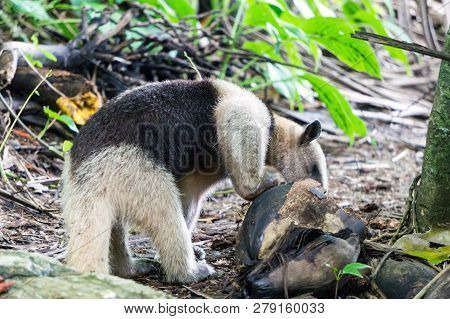 Collared Anteater (tamandua) Eating From Coconut In Corcovado National Park, Costa Rica
