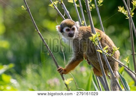 Common squirrel monkey sitting on thin branches in summer forest. Cute little Saimiri sciureus with orange hands and feet on blurred green background.