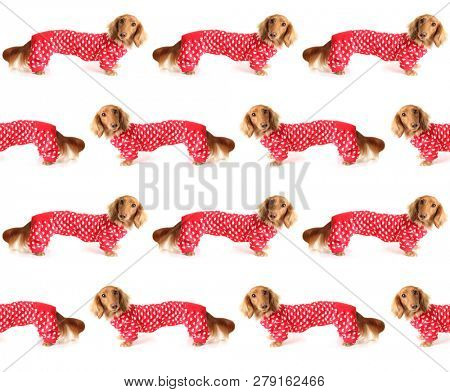 Cute longhair Dachshund puppy wearing a red valentine's day outfit with white love hearts. February 14 Seamless pattern.