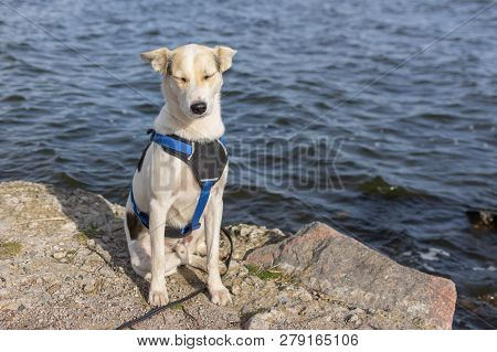 Portrait Of Adorable Mixed-breed White Dog In Breast-band Sitting On A Riverside And Sleeping Under