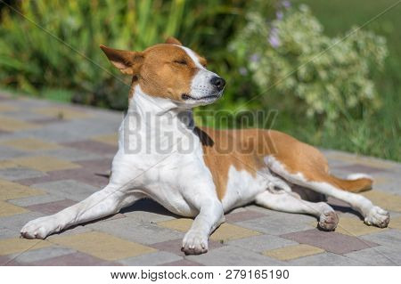 Full Body Portrait Of Basenji Dog Lying On A Pavement And Enjoying Autumnal Warm Sun