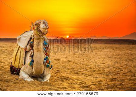 camel lying down in egyptian desert at sunset