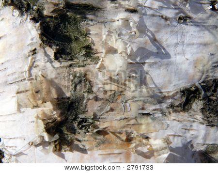 Close up birch bark texture. Nature background. poster
