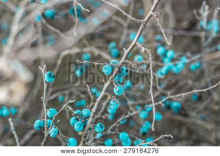 Blackthorn. Blue, Ripe Berries Of Wild Blackthorn On A Branch In Late Autumn. Blackthorn Berries, Pr