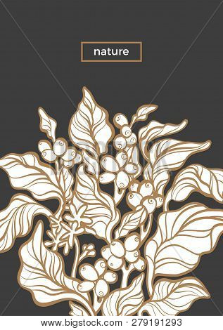 Vector Nature Template Botanical Art Line Design Coffee Tree With Realistic Leaf, Flower, Bean, Grai