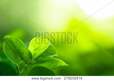 Close Up Natural Green Leaf And Greenery Blurred Background In Public Garden In Morning Time With Su