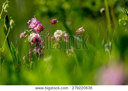 Pink Wild Flowers. Blooming Flowers. Beautiful Pink Rural Flowers In Green Grass. Meadow With Rural