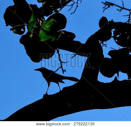 Artsy Silhouette Of A Male Boat Tailed Grackle In A Sea Grape Tree On A Beach In Florida.