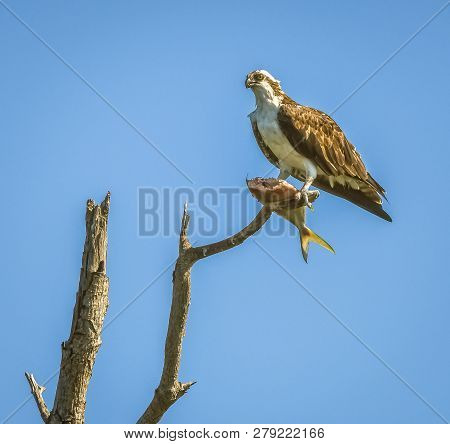Artsy View Of An Osprey In A Tree In A Florida Swamp With A Fish He Is Eating With A Blue Sky Backgr