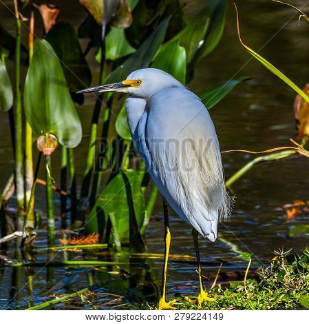 Close up of a Snowy Egret in breeding plumage wading in a Florida wetland pond with blurred green aquatic plants background. poster