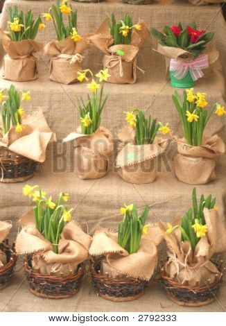 Flowerpots With Daffodils