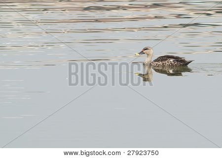Spot Billed Duck swimming