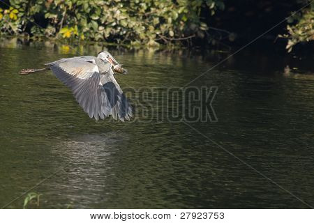 Grey Heron in flight with fish