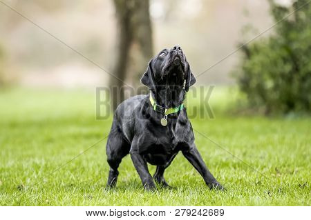 Young Black Labrador Seeing Something To Catch. Maybe A Ball Or Frisby.  A Black Dog In A Park, Coun