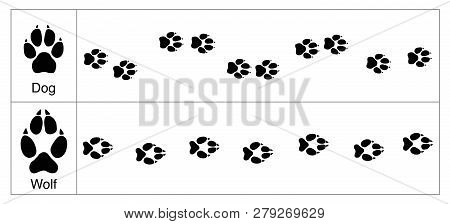 Wolf And Dog Tracks By Comparison. Round And Smaller Tracks Of Dogs And Oval Bigger Ones Of Wolves -