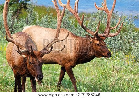 Portraits Of Two Large Bull Elks By Water