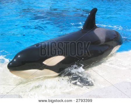Killer Whale Sunbath