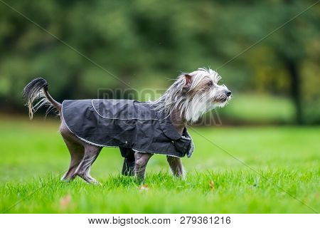 Chinese Crested Dog Walking In The Countryside In A Coat. A Mostly Hairless Dog In A Park, Countrysi