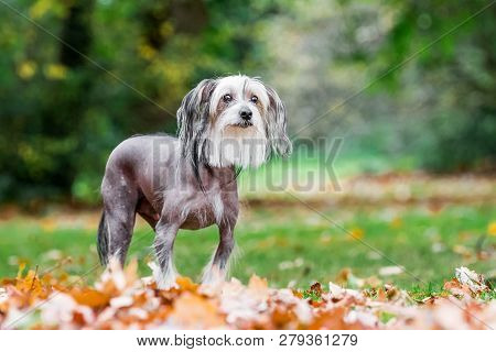Chinese Crested Dog Standing In Autumn Fall Leaves In The Countryside Looking Past Camera. A Mostly