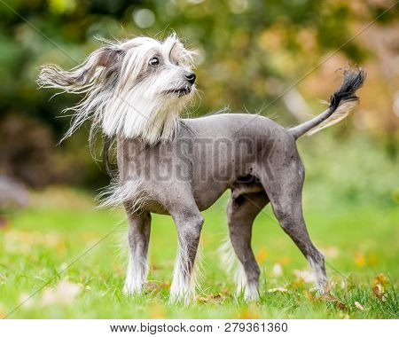 Chinese Crested Dog Standing In The Countryside Looking Across The Side With Hair Blowing In The Win