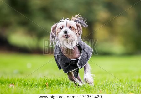 Chinese Crested Dog Running In The Countryside In A Coat. A Mostly Hairless Dog In A Park, Countrysi