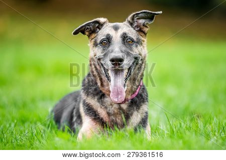 Very Old Alsatian Portrait Looking At The Camera With Mouth Open And Tongue Hanging Out One Ears Ben