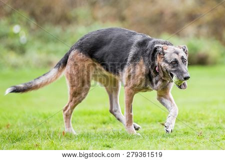 Very Old Alsatian Walking To The Side With A Yellow Tennis Ball In Its Mouth. An Alsatian Or German