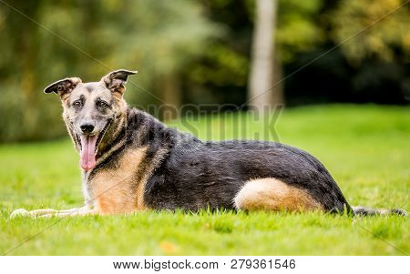 Very Old Alsatian Smiling Lying In The Grass From The Side Mouth Open Tongue Hanging Out. An Alsatia