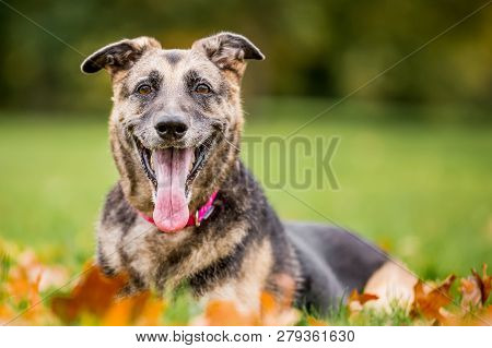 Very Old Alsatian Smiling Lying In Autumn Fall Leaves Looking At Camera. An Alsatian Or German Sheph