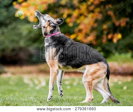 Very Old Alsatian Catching A Yellow Tennis Ball From The Side. An Alsatian Or German Shepherd Dog In