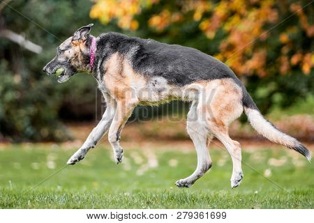 Very Old Alsatian In The Air Catching A Yellow Tennis Ball. An Alsatian Or German Shepherd Dog In A