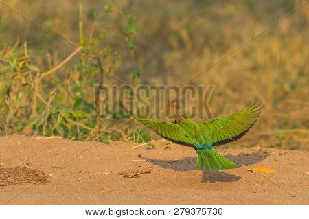 Colorful African White-fronted Bee-eater Bird Flying To The Ground In South Africa From Kruger Natio