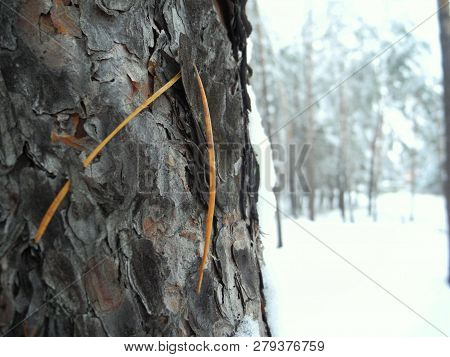 The Trunk Of A Pine And Pine Needles In The Winter Forest. Frosty Day In A Pine Forest