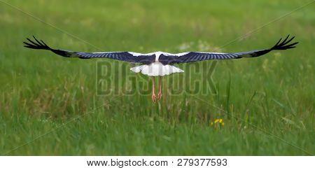 White Stork In Flight Backview Over Green Field