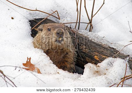 Groundhog Emerging From A Snowy Den February