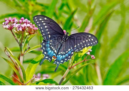 Black Swallowtail Butterfly Feeding On Some Flower