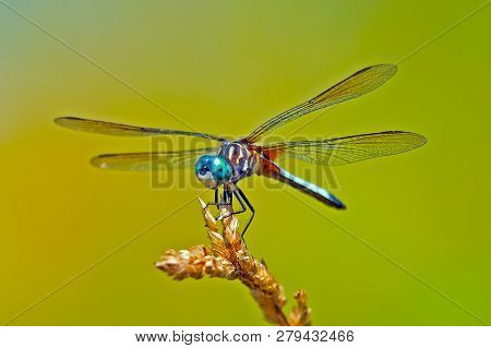 Blue Dasher Dragonfly Standing On A Weed