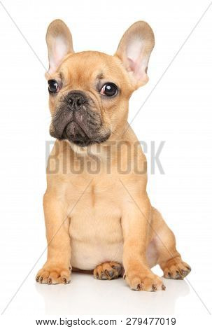 French Bulldog Puppy Sits In Front Of White Background. Baby Animal Theme