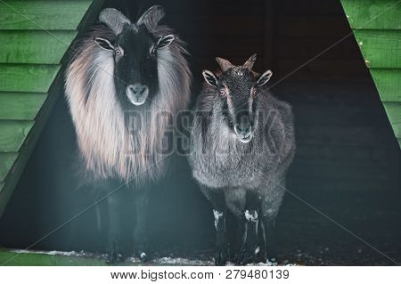 Cute  Male And Female  Himalayan Tahr (hemitragus Jemlahicus) . Looking At Camera. Funny Photo Of A